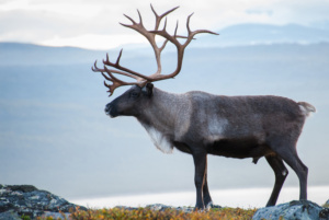 caribou-summer