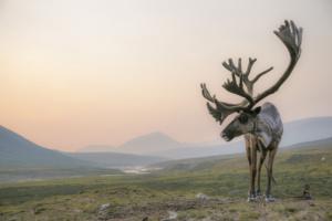 caribou-sunset