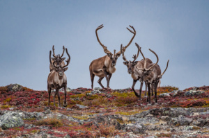 caribous-group