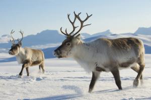 caribous-winter