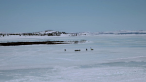 geese-newfoundland-and-labrador-qc
