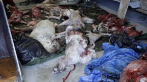 innu-caribou-hunt-corpse