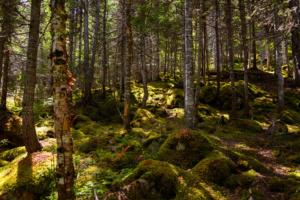 innu-land-forest