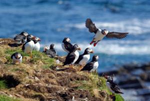 puffins-preparing-nests-labrador