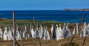 drying-cod-along-shore-newfoundland