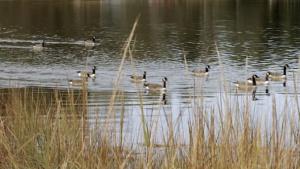 geese-lake