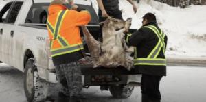 innu-hunting-caribou-truck