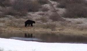innu-land-bear